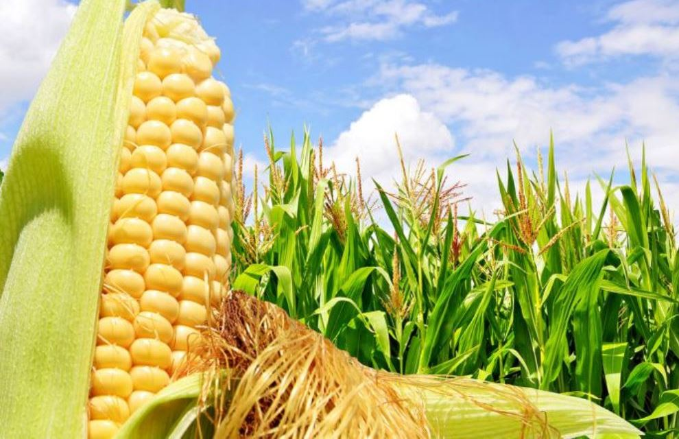 Лучшая кукуруза